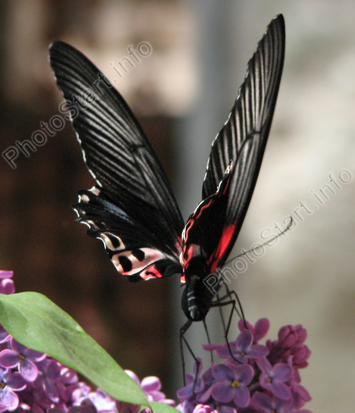 фото бабочка черная
