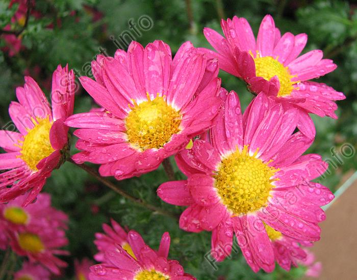 Хризантемы садовые  посадка уход особености