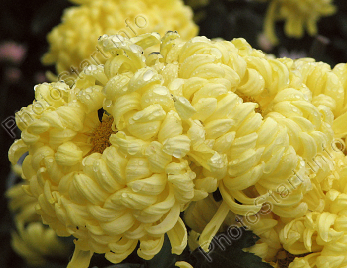 Цветы хризантемы никитская сказка