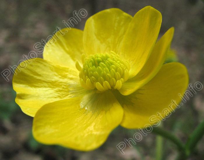 Лимонно жёлтый лесной цветок похожий