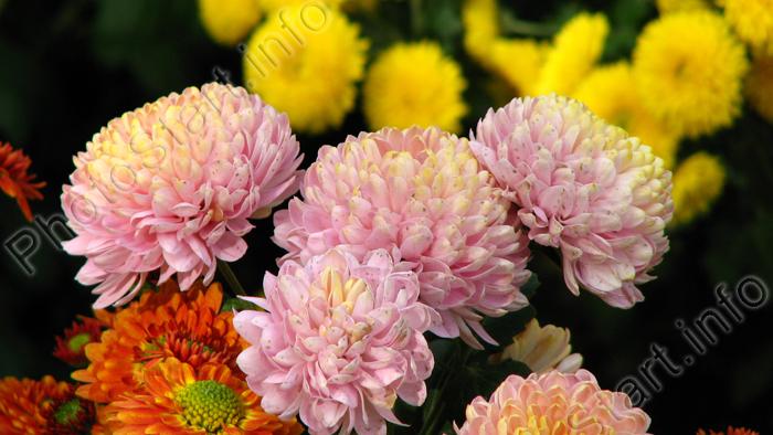 """Фото """"Букет из разноцветных хризантем."""" :: ФотоСтарт ...: http://www.photostart.info/showphoto.php?category=21&code=123"""