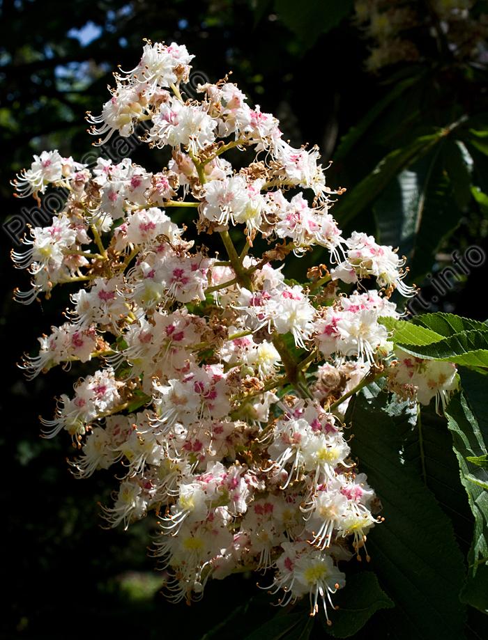 Лесные растения с белыми цветами 15