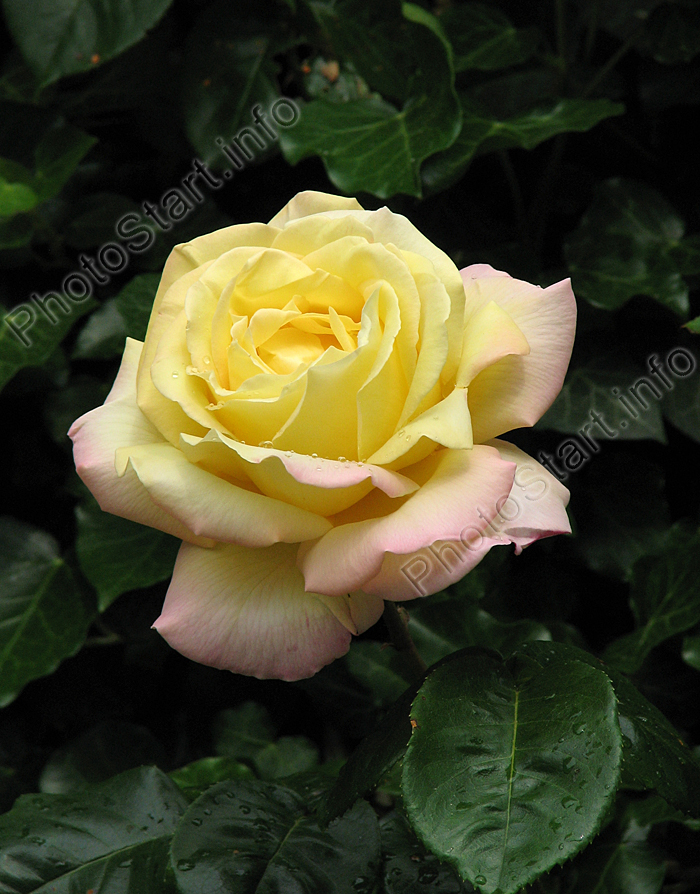 фото цветы розы на весь экран