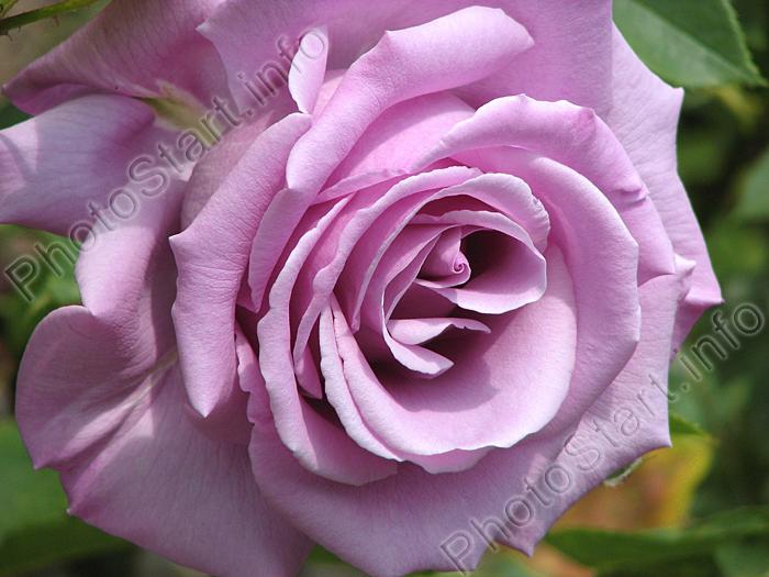 Чайно-гибридная роза Голубой Нил (Blue Nile).