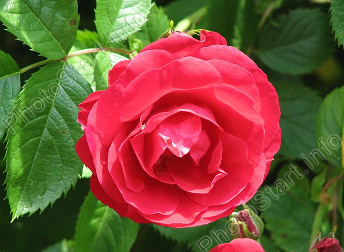 Крупноцветковая плетистая роза Flammentanz.