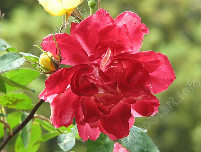 роза плетистая полька бабочка фото