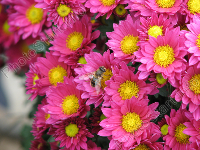 A bee on deep-pink chrysanthemums.