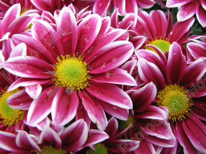 Когда-то хризантемы были похожи на обычные ромашки, не отличающиеся особой красотой и...