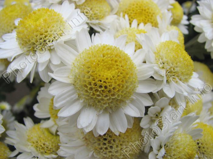 Корейские хризантемы  floweronegoru