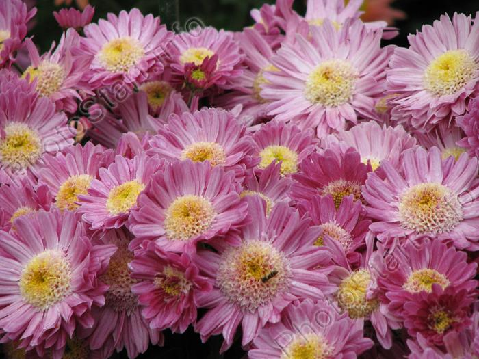 Фото сиреневые бордюрные хризантемы