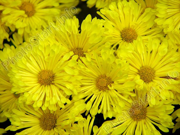 Фото Кузнечик в цветках желтых хризантем.