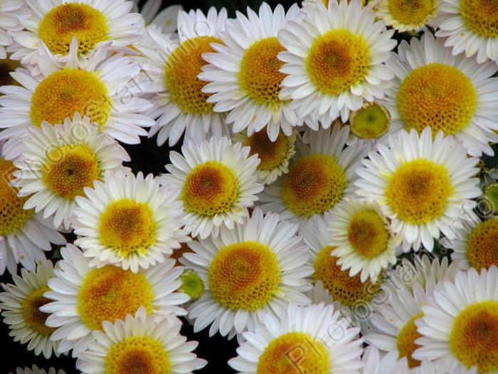 Фото белые хризантемы русское поле