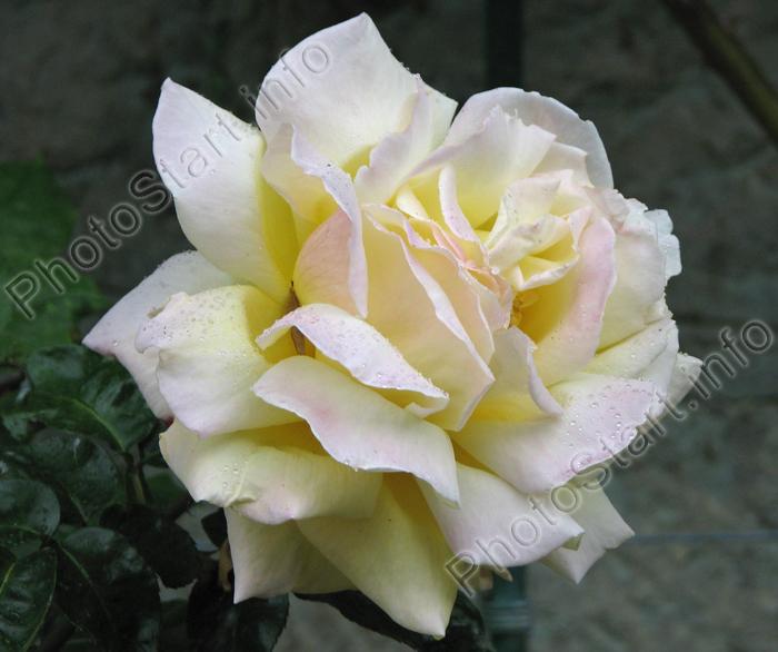 Фото: Чайная роза Глория Дей (Gloria Dei)