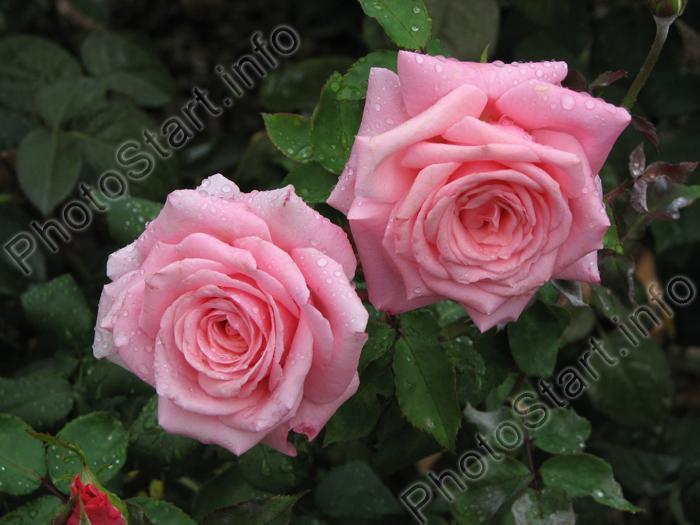 Розы известны человечеству с