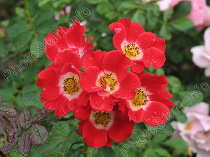 Фото соцветие красно белых роз черри