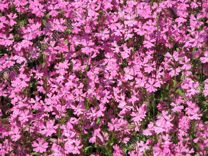 Розовые цветы на клумбе никитского
