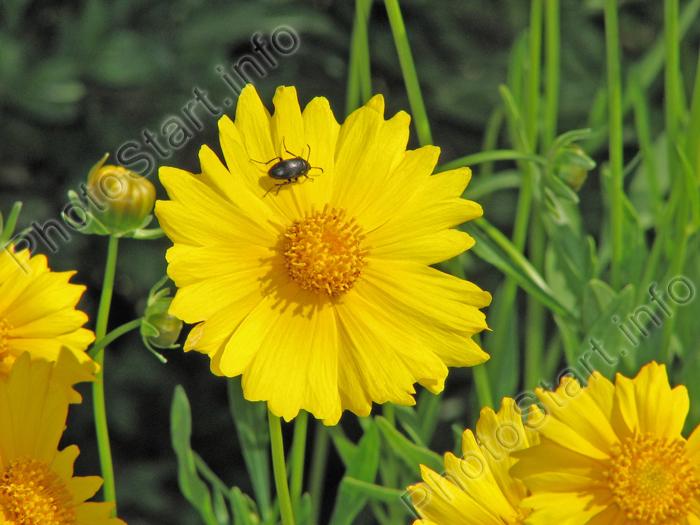 Желтые цветы кореопсисы и букашка