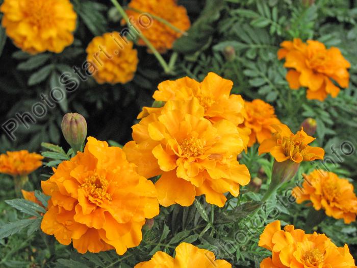 Фото оранжевых чернобривцев (бархатцев).