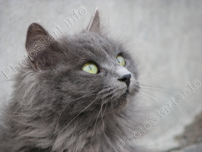 fluffy grey kitten-#20