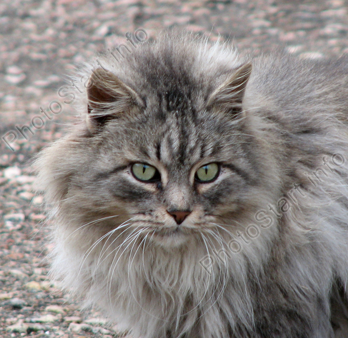 "Fluffy White And Grey Cat Photo ""Flu..."