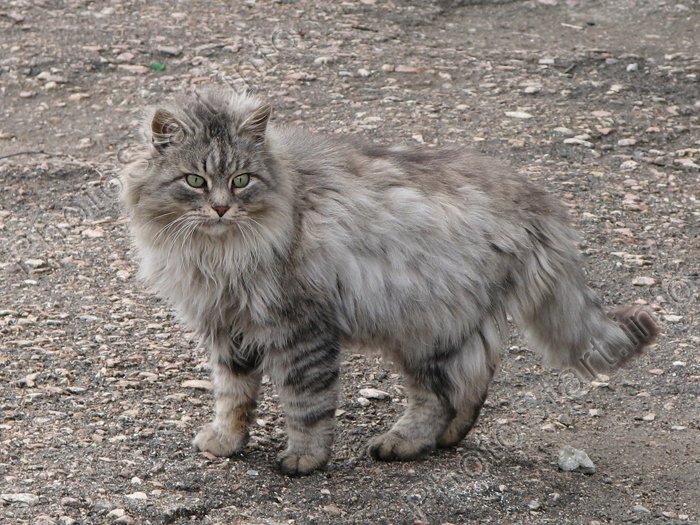 fluffy grey kitten-#29
