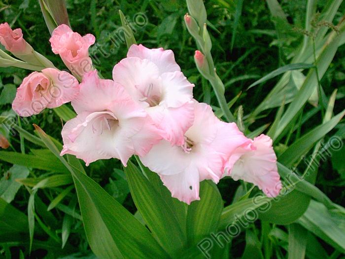 цветок гладиолус фото: