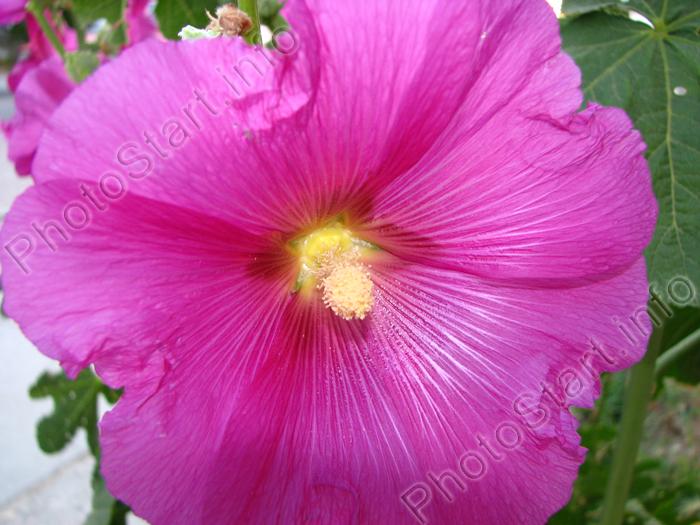 Фото цветок ярко розовой мальвы