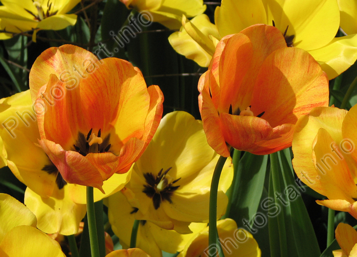 Фотография тюльпанов сорта президент