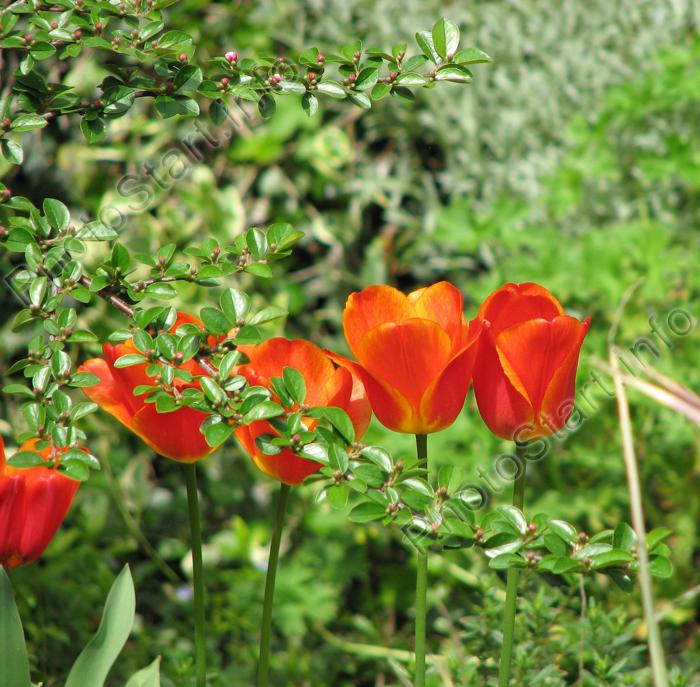 Фото &quot;Цветы оранжевых <b>тюльпанов</b> на клумбе.&quot; :: ФотоСтарт ...