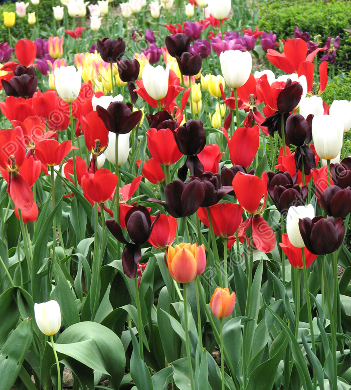 "Фото ""Клумба разноцветных тюльпанов."" :: ФотоСтарт - сайт ...: http://www.photostart.info/showphoto.php?category=26&code=806"