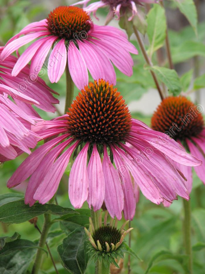 Фото цветы лекарственного растения