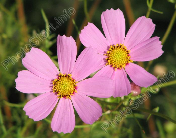 Два цветка бледно розового космоса