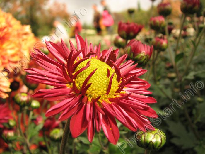 "Фото ""Цветок хризантемы Акварель ...: www.photostart.info/showphoto.php?category=21&code=892"