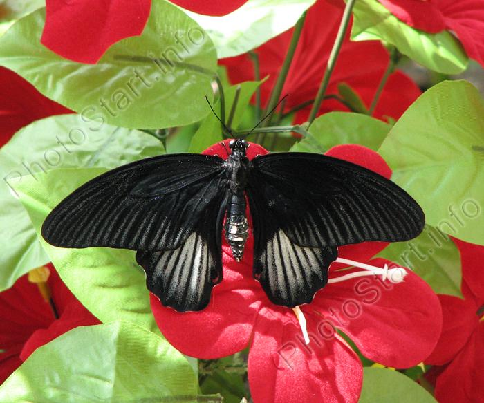 Тропическая бабочка papilio rumanzovia самка