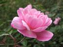 Миниатюрная роза Rouletii. Размер: 700x563. Размер файла: 338, 62 КБ