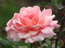 Чайно-гибридная роза Благовест. Размер: 700x557. Размер файла: 417, 16 КБ