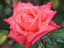 Роза Аве Мария (Ave Maria) в капельках дождя. Размер: 700x824. Размер файла: 642, 45 КБ