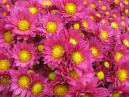Flower composition of purple chrysanthemums.  Size: 700x525.  File size: 525.46 KB