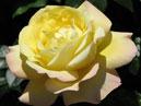 Роза Глория Дей (Gloria Dei) - плетистая разновидность. Размер: 700x665. Размер файла: 295, 82 КБ