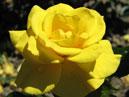 Чайно-гибридная желтая роза Мабелла (Mabella). Размер: 700x605. Размер файла: 289, 21 КБ