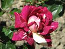 Двухцветная роза Пестрая Фантазия. Размер: 700x587. Размер файла: 381, 41 КБ