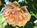 Плетистая роза Крымское Солнышко. Размер: 700x624. Размер файла: 375, 83 КБ
