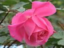 Роза Феодосийская Красавица. Размер: 700x847. Размер файла: 465, 75 КБ