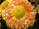 Dewdrops on a chrysanthemum flower.  Size: 700x566.  File size: 423.55 KB