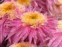 Хризантемы сорта Ami Paulette.