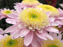 Pink chrysanthemum Ipswich with greenish center.  Size: 700x590.  File size: 417.11 KB