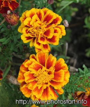 Осенние цветы никитского
